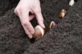 チューリップの球根植え付け体験